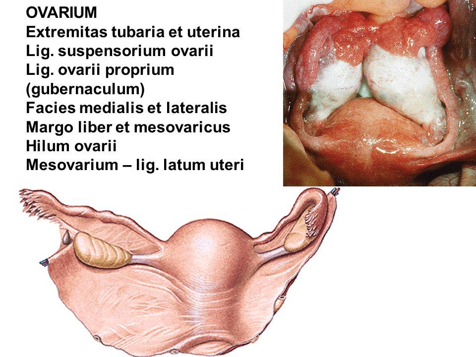 OVARIUM Extremitas tubaria et uterina Lig. suspensorium ovarii Lig. ovarii proprium (gubernaculum) Facies medialis et lateralis Margo liber et mesovar
