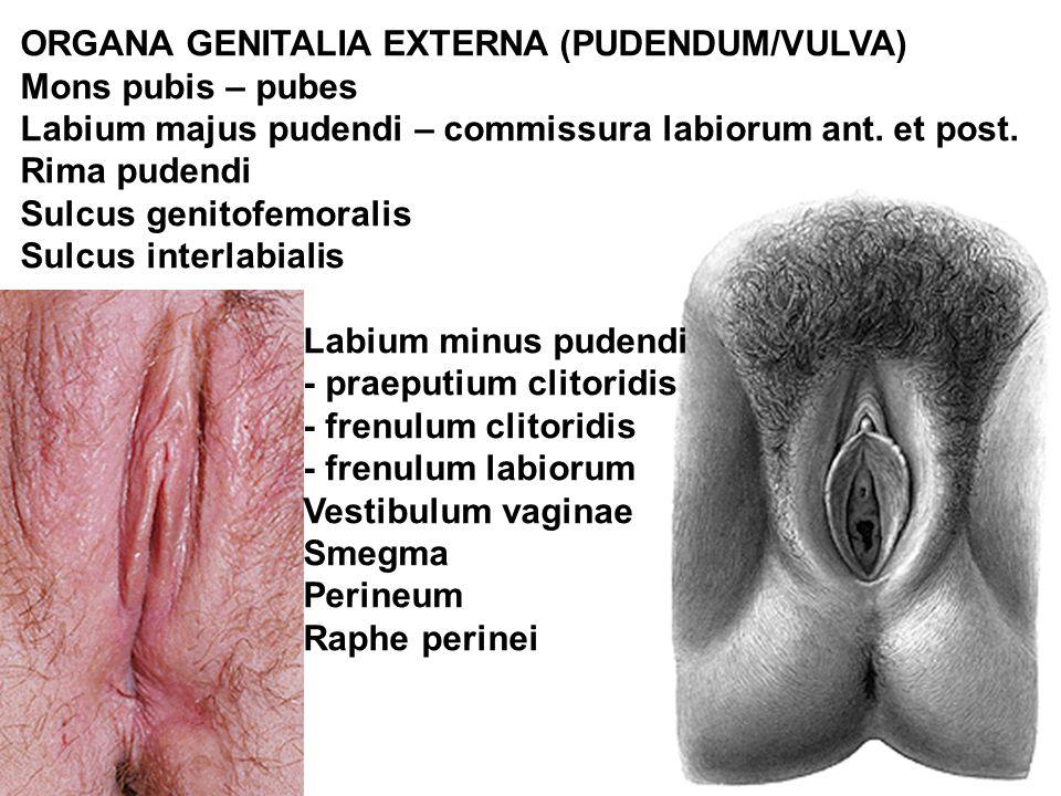 ORGANA GENITALIA EXTERNA (PUDENDUM/VULVA) Mons pubis – pubes Labium majus pudendi – commissura labiorum ant. et post. Rima pudendi Sulcus genitofemora