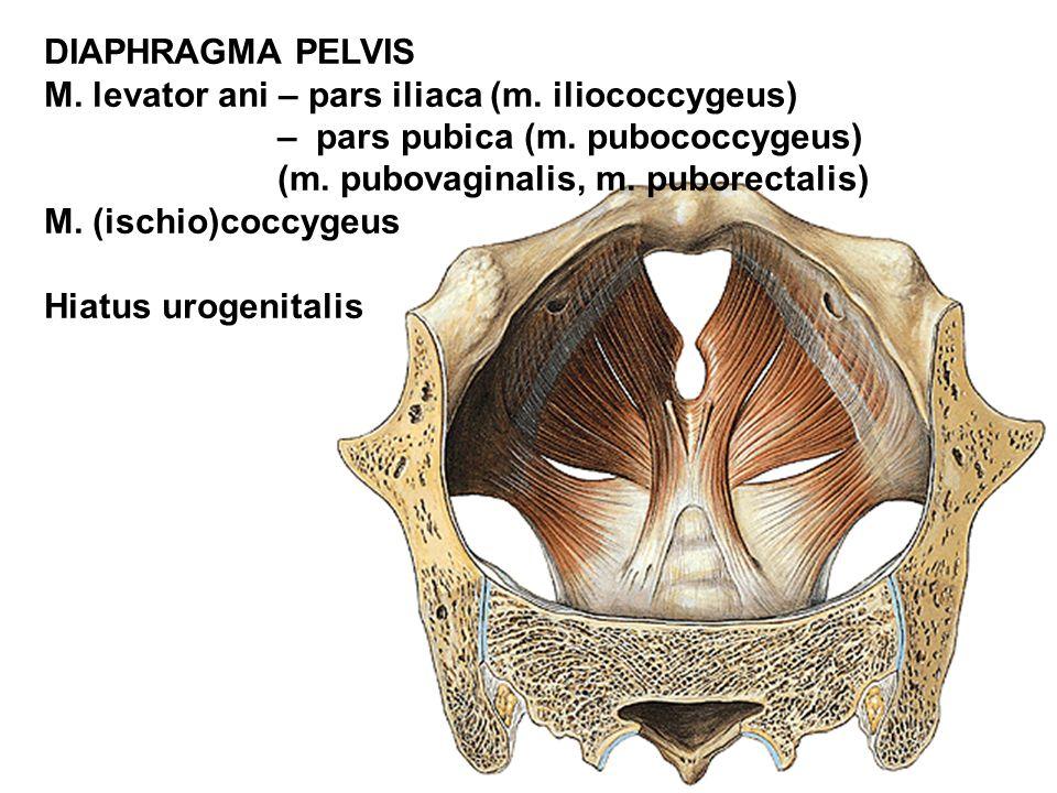 DIAPHRAGMA PELVIS M. levator ani – pars iliaca (m. iliococcygeus) – pars pubica (m. pubococcygeus) (m. pubovaginalis, m. puborectalis) M. (ischio)cocc