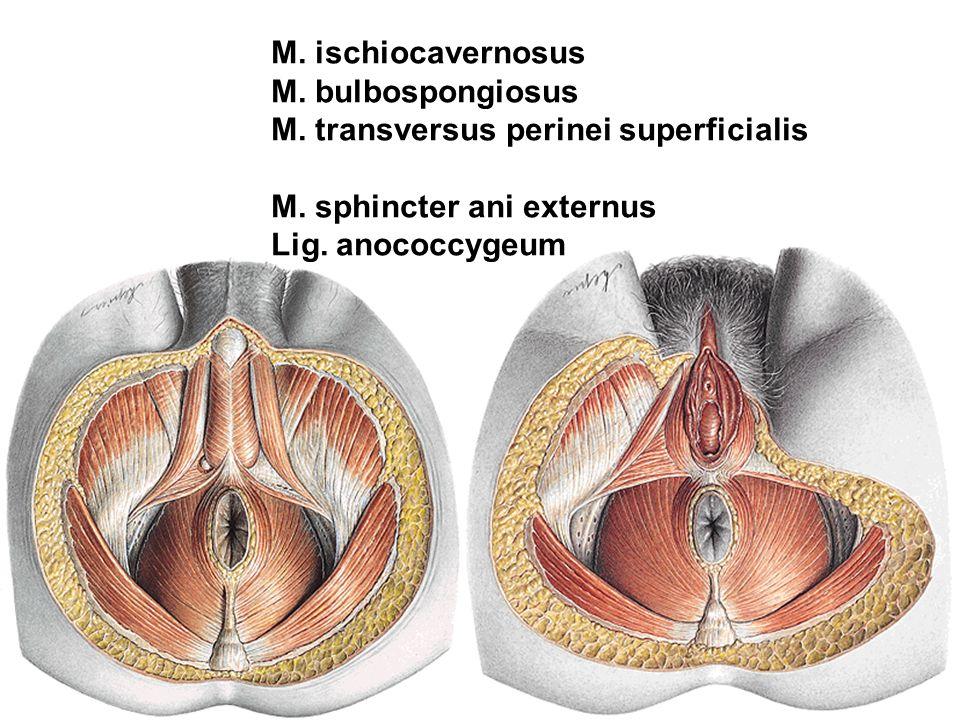 M. ischiocavernosus M. bulbospongiosus M. transversus perinei superficialis M. sphincter ani externus Lig. anococcygeum