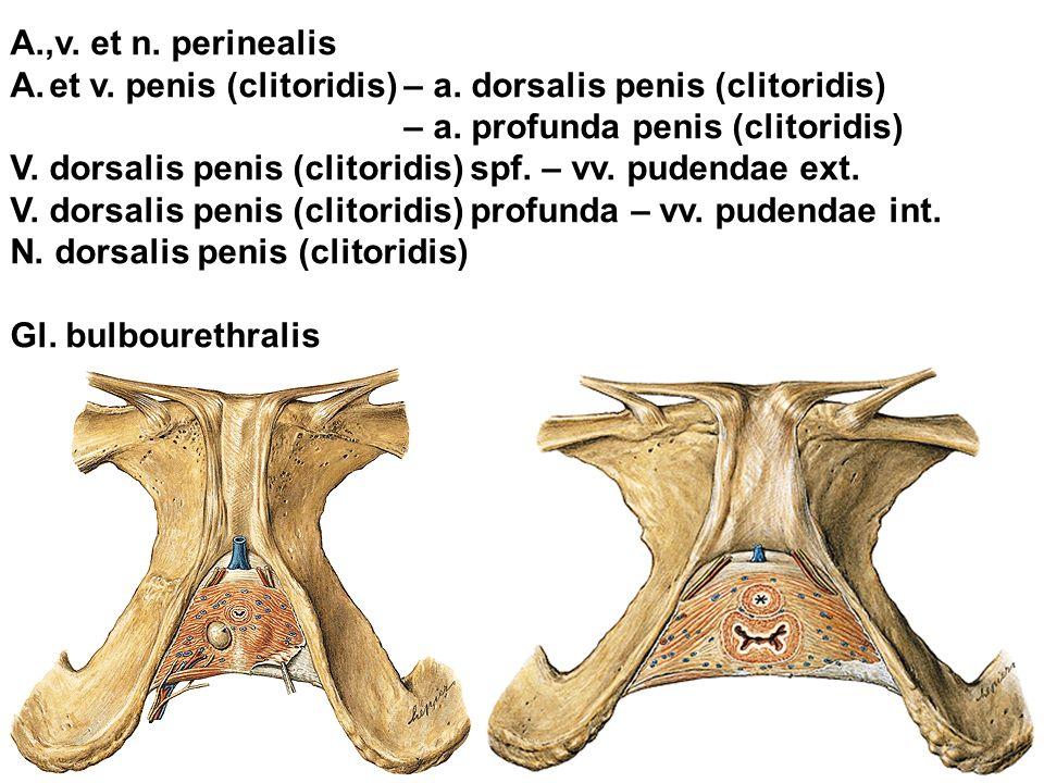 A.,v.et n. perinealis A.et v. penis (clitoridis) – a.
