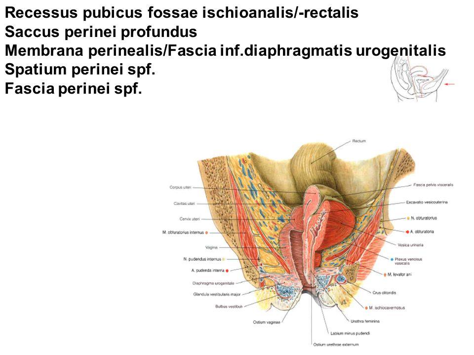 Recessus pubicus fossae ischioanalis/-rectalis Saccus perinei profundus Membrana perinealis/Fascia inf.diaphragmatis urogenitalis Spatium perinei spf.