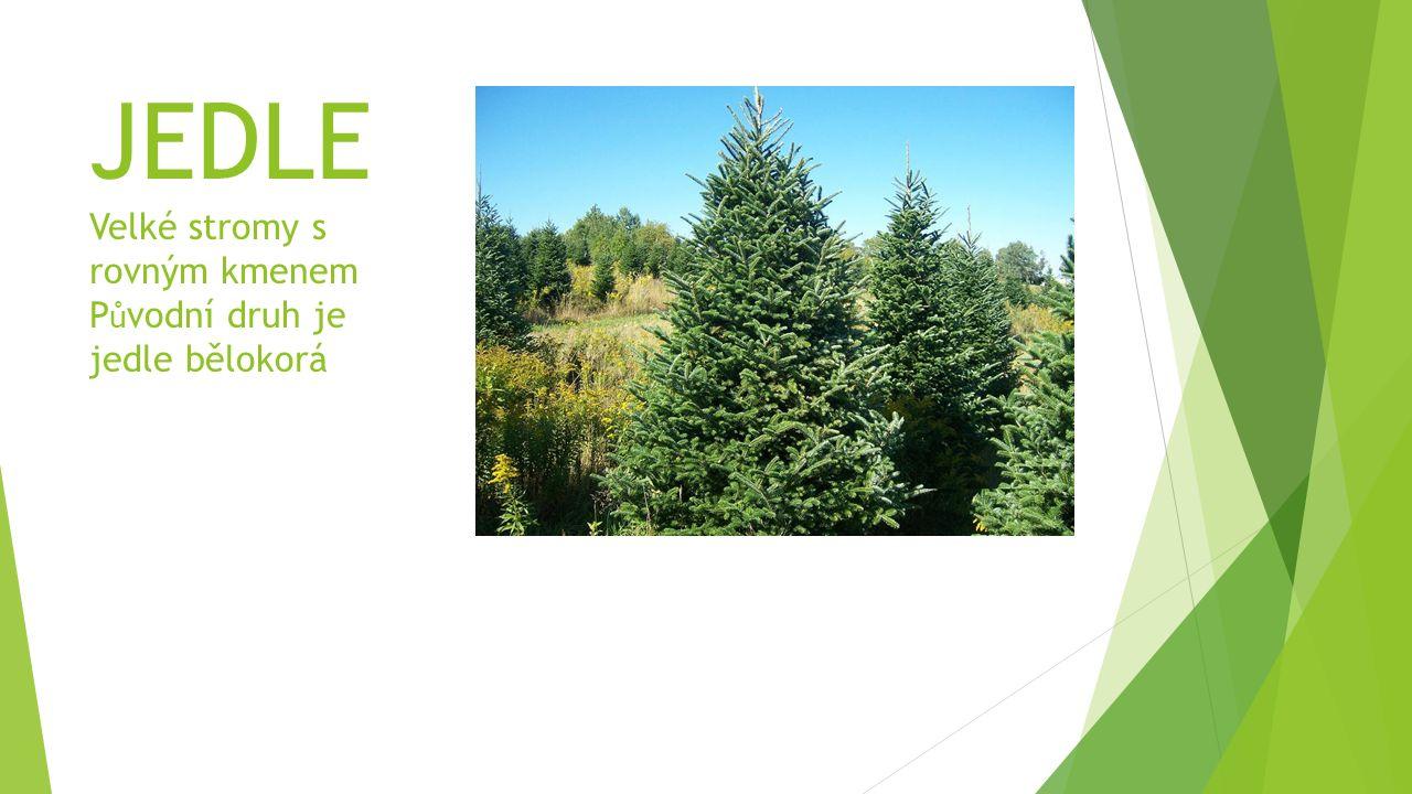 JEDLE Velké stromy s rovným kmenem P ů vodní druh je jedle bělokorá