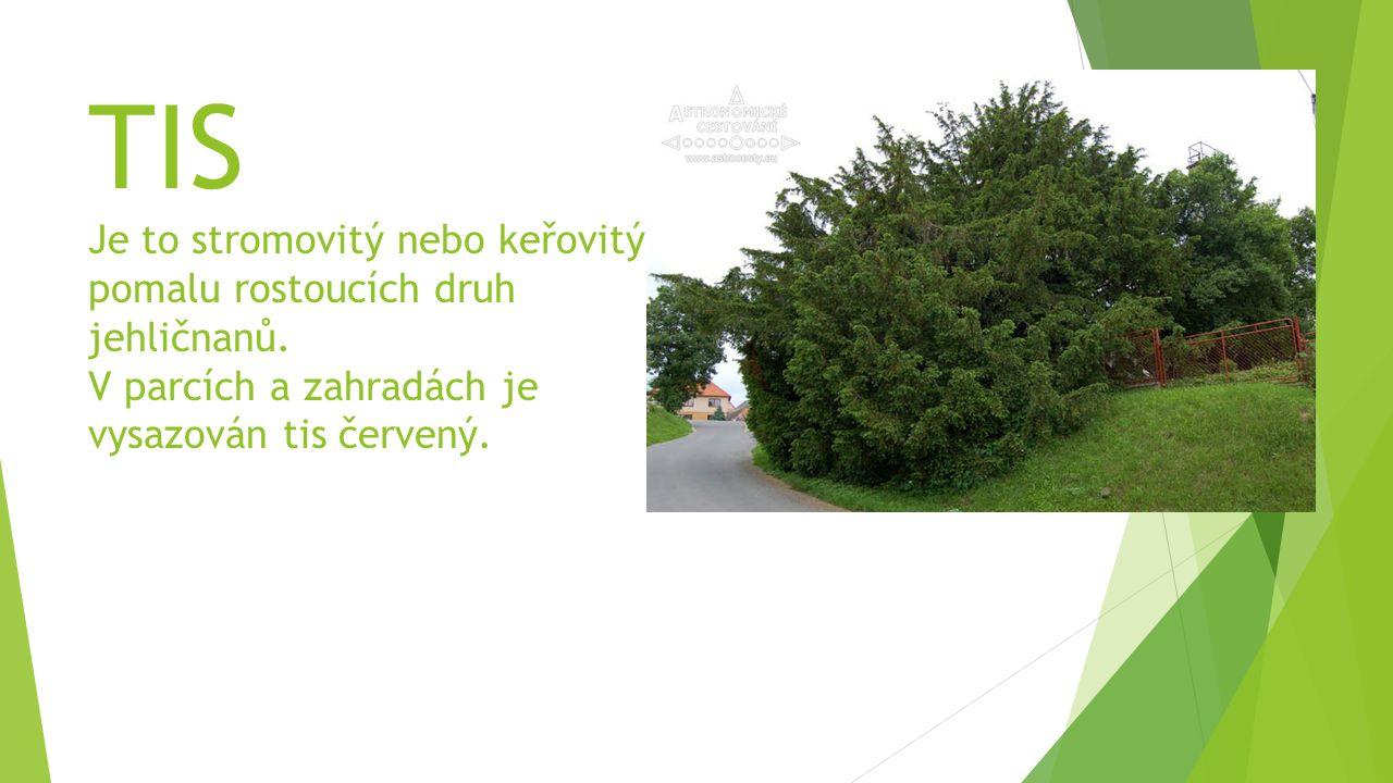 TIS Je to stromovitý nebo keřovitý pomalu rostoucích druh jehličnanů. V parcích a zahradách je vysazován tis červený.