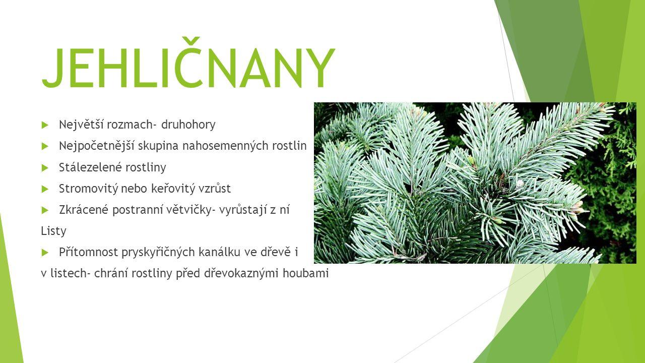 JEHLIČNANY  Největší rozmach- druhohory  Nejpočetnější skupina nahosemenných rostlin  Stálezelené rostliny  Stromovitý nebo keřovitý vzrůst  Zkrá