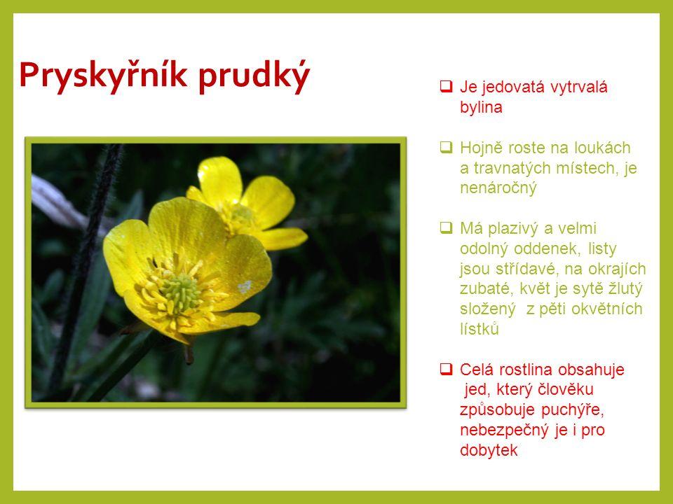 Pryskyřník prudký  Je jedovatá vytrvalá bylina  Hojně roste na loukách a travnatých místech, je nenáročný  Má plazivý a velmi odolný oddenek, listy
