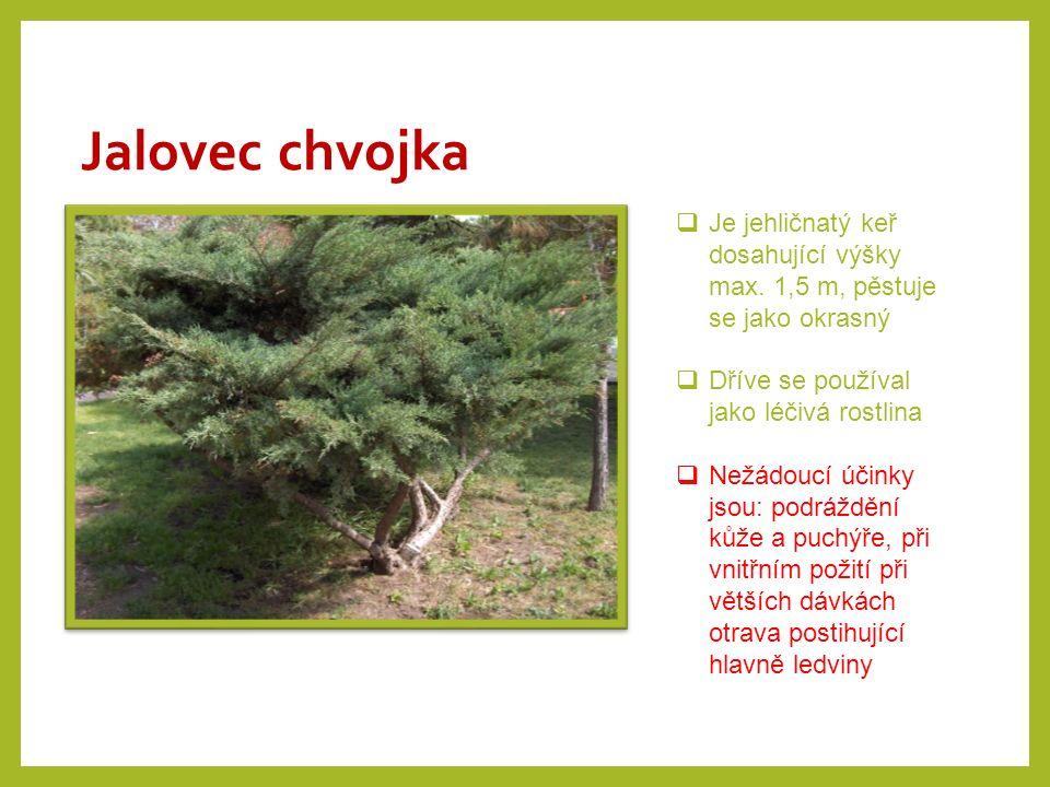 Jalovec chvojka  Je jehličnatý keř dosahující výšky max. 1,5 m, pěstuje se jako okrasný  Dříve se používal jako léčivá rostlina  Nežádoucí účinky j