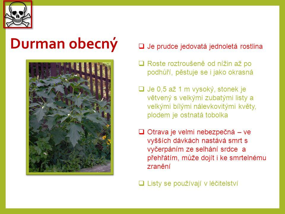 Durman obecný  Je prudce jedovatá jednoletá rostlina  Roste roztroušeně od nížin až po podhůří, pěstuje se i jako okrasná  Je 0,5 až 1 m vysoký, st