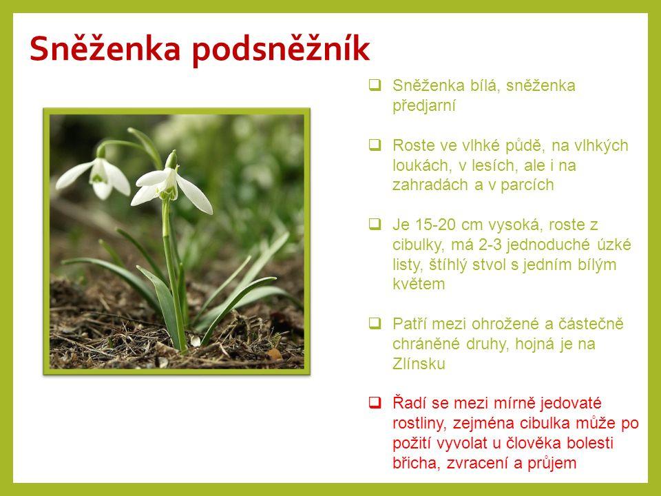 Orsej jarní  Je to jarní vytrvalá rostlina vytvářející kořenové hlízy  Má ráda zamokřená místa – louky, břehy…  Lodyha je holá, asi 20 cm vysoká, květy jsou samostatné se žlutými lístky, listy jsou srdčité  Má vysoký obsah vitamínu C – používala se na salát, ale jen než vykvetla, po vykvetení je totiž jedovatá!