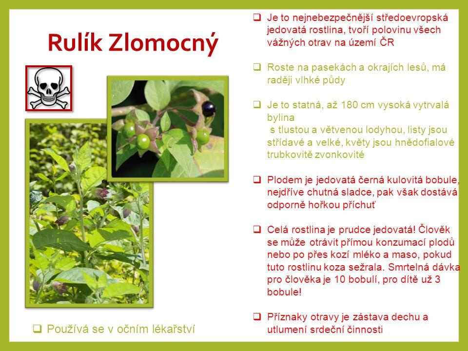"""Vraní oko čtyřlisté  Je vytrvalá prudce jedovatá bylina rostoucí ve vlhčích listnatých a smíšených lesích  Z plazivého oddenku vyrůstá až 40 cm vysoká bylina, listy jsou široké tvoří """"čtyřlist , plodem je jedovatá, kulatá černá bobule  Chuť bobulí je odporná, rostlina nepříjemně zapáchá, takže otravy jsou vzácné i u dětí"""