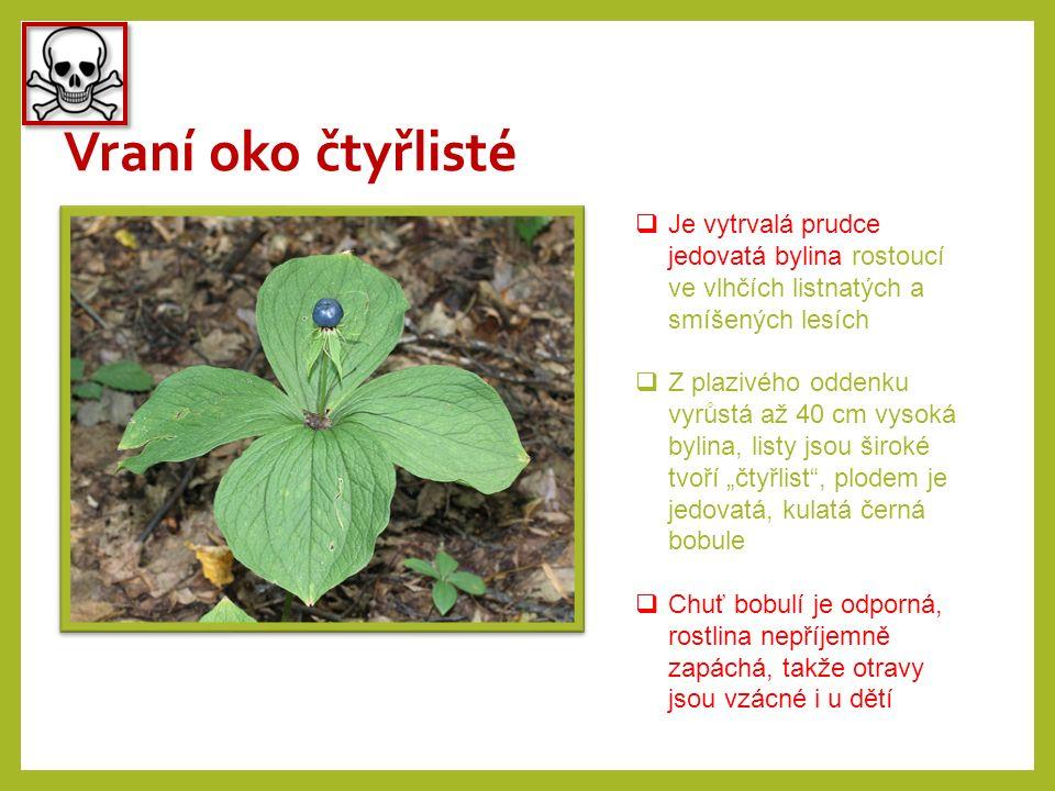 Vraní oko čtyřlisté  Je vytrvalá prudce jedovatá bylina rostoucí ve vlhčích listnatých a smíšených lesích  Z plazivého oddenku vyrůstá až 40 cm vyso