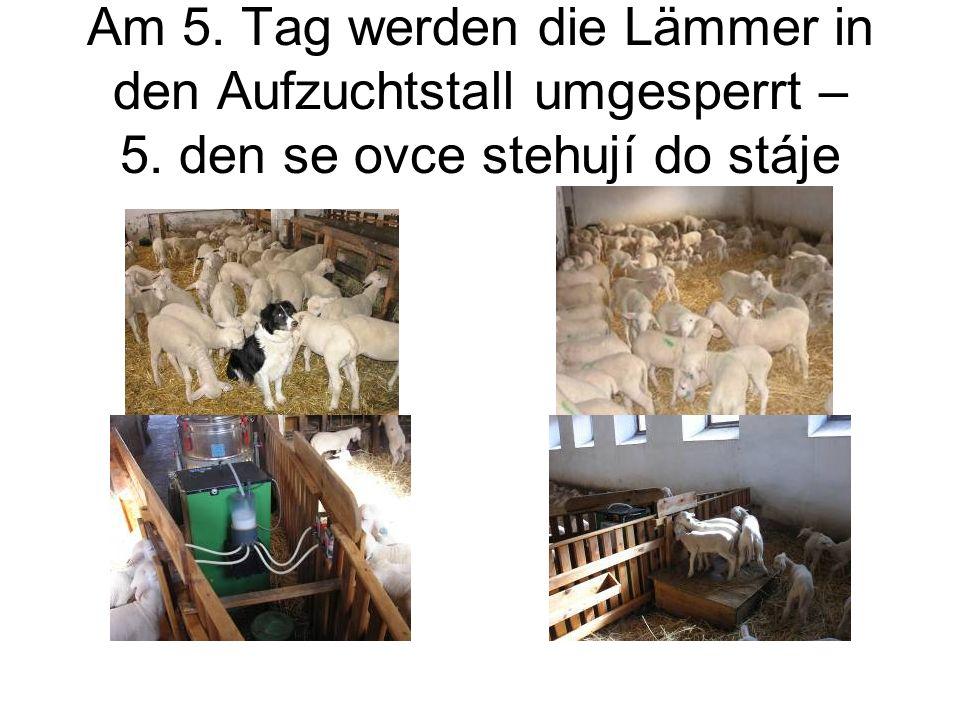 Am 5. Tag werden die Lämmer in den Aufzuchtstall umgesperrt – 5. den se ovce stehují do stáje