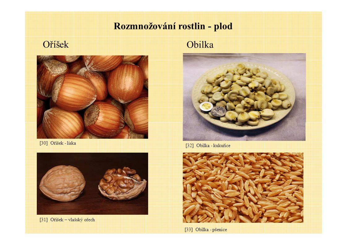 Oříšek Rozmnožování rostlin - plod Obilka [32] Obilka - kukuřice [30] Oříšek - líska [31] Oříšek – vlašský ořech [33] Obilka - pšenice
