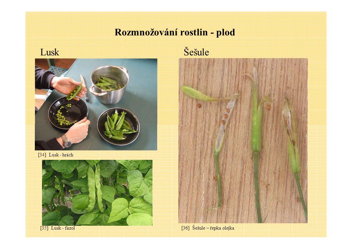 Rozmnožování rostlin - plod LuskŠešule [34] Lusk - hrách [35] Lusk - fazol[36] Šešule – řepka olejka