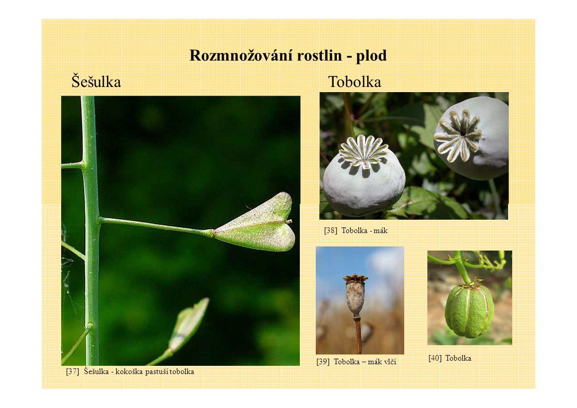 Rozmnožování rostlin - plod ŠešulkaTobolka [37] Šešulka - kokoška pastuší tobolka [38] Tobolka - mák [39] Tobolka – mák vlčí [40] Tobolka