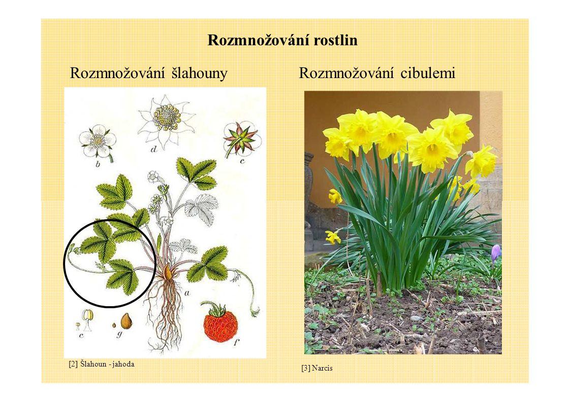 Rozmnožování rostlin Rozmnožování šlahounyRozmnožování cibulemi [2] Šlahoun - jahoda [3] Narcis