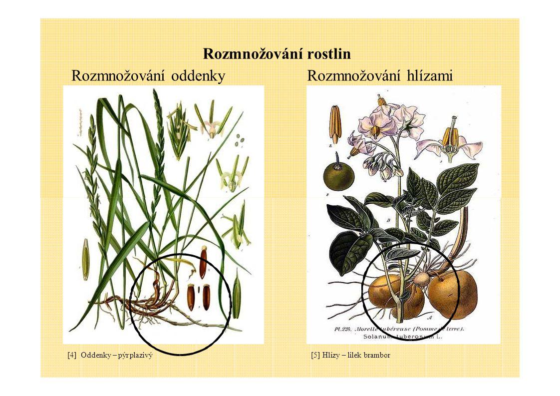 Rozmnožování rostlin Rozmnožování rostlin bylinnými řízky [7] Bylinný řízek - list [6] Bylinný řízek – část rostliny