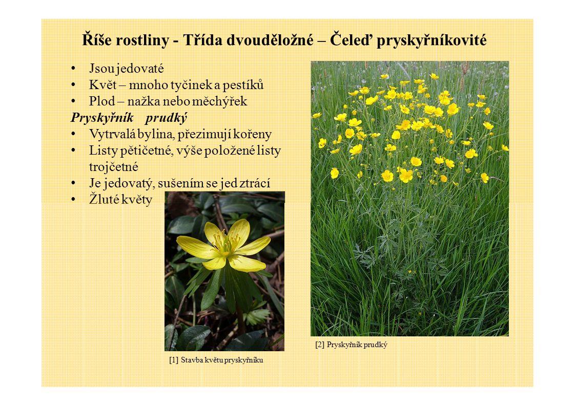 Říše rostliny - Třída dvouděložné – Čeleď pryskyřníkovité Jsou jedovaté Květ – mnoho tyčinek a pestíků Plod – nažka nebo měchýřek Pryskyřníkprudký Vyt
