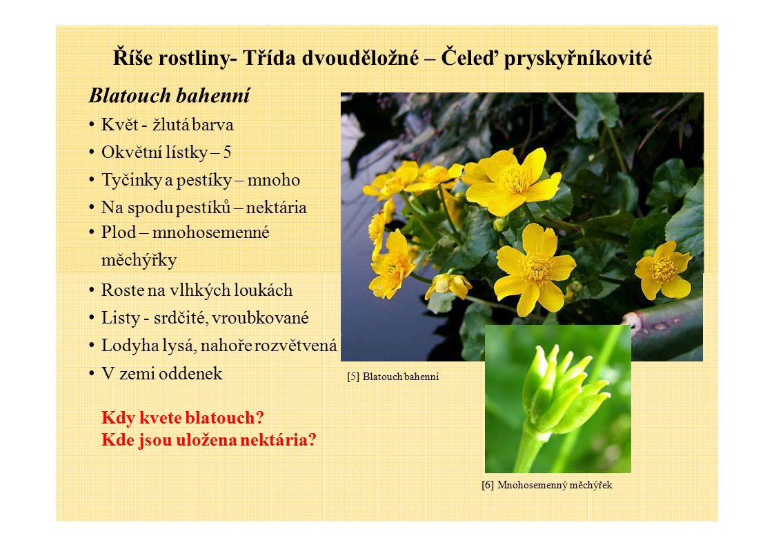 Říše rostliny- Třída dvouděložné – Čeleď pryskyřníkovité Blatouch bahenní Květ - žlutá barva Okvětní lístky – 5 Tyčinky a pestíky – mnoho Na spodu pes