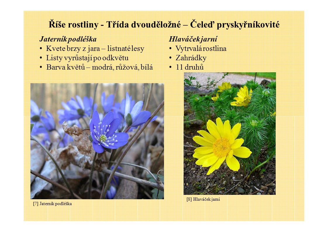 Říše rostliny - Třída dvouděložné – Čeleď pryskyřníkovité Jaterník podléška Kvete brzy z jara – listnaté lesy Listy vyrůstají po odkvětu Barva květů –