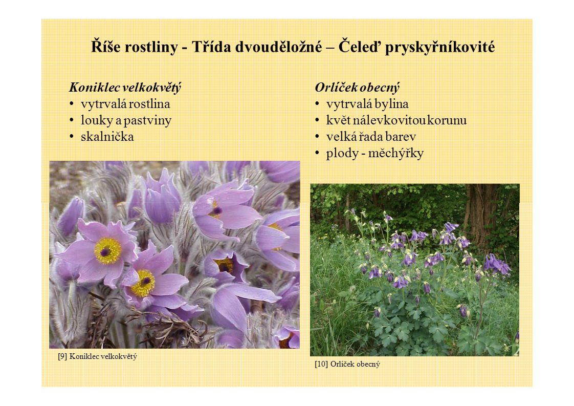 Říše rostliny - Třída dvouděložné – Čeleď pryskyřníkovité Koniklec velkokvětý vytrvalá rostlina louky a pastviny skalnička Orlíček obecný vytrvalá byl
