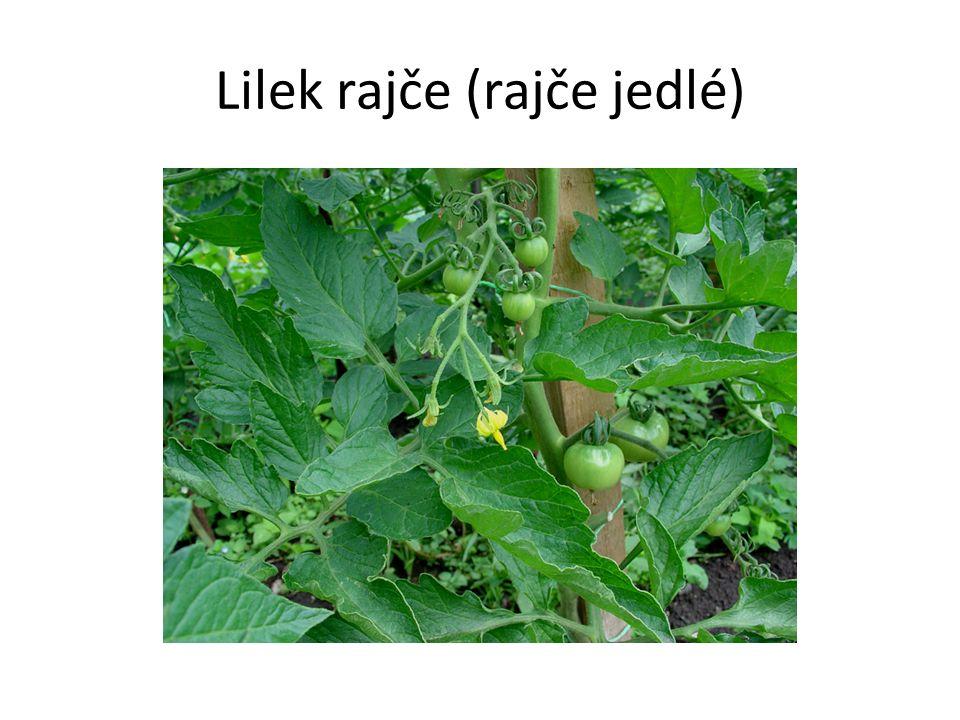 Lilek rajče (rajče jedlé)