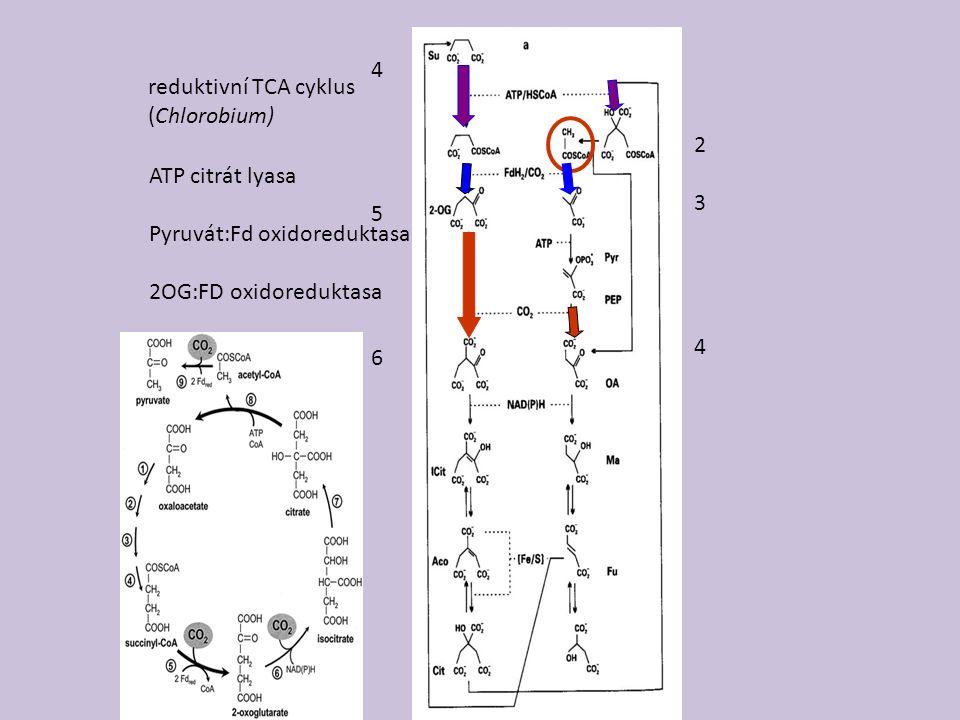 reduktivní TCA cyklus (Chlorobium) 234234 456456 ATP citrát lyasa Pyruvát:Fd oxidoreduktasa 2OG:FD oxidoreduktasa