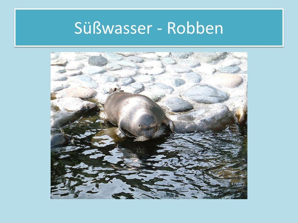 Süßwasser - Robben