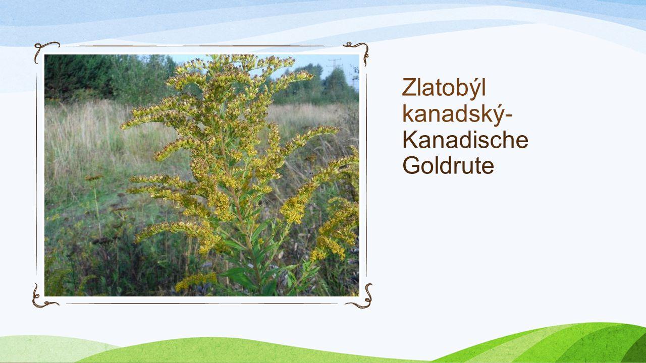 První úkol Erste Aufgabe Najít a zapsat polohu invazivních rostlin (Invasive Pflanzen suchen und finden) Název-Name Poloha- Postition Zlatobýl kanadsk