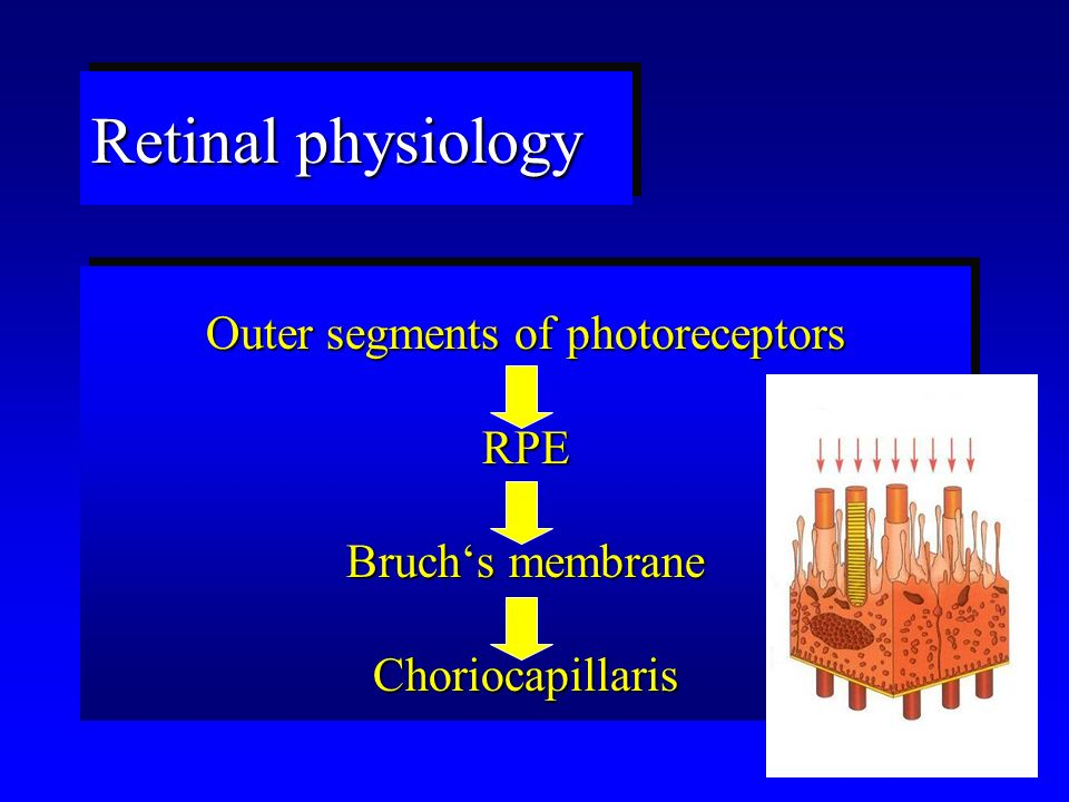 Retinal physiology Outer segments of photoreceptors RPE Bruch's membrane Choriocapillaris Outer segments of photoreceptors RPE Bruch's membrane Choriocapillaris
