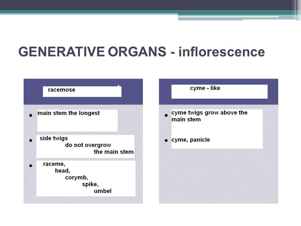 GENERATIVE ORGANS - inflorescence