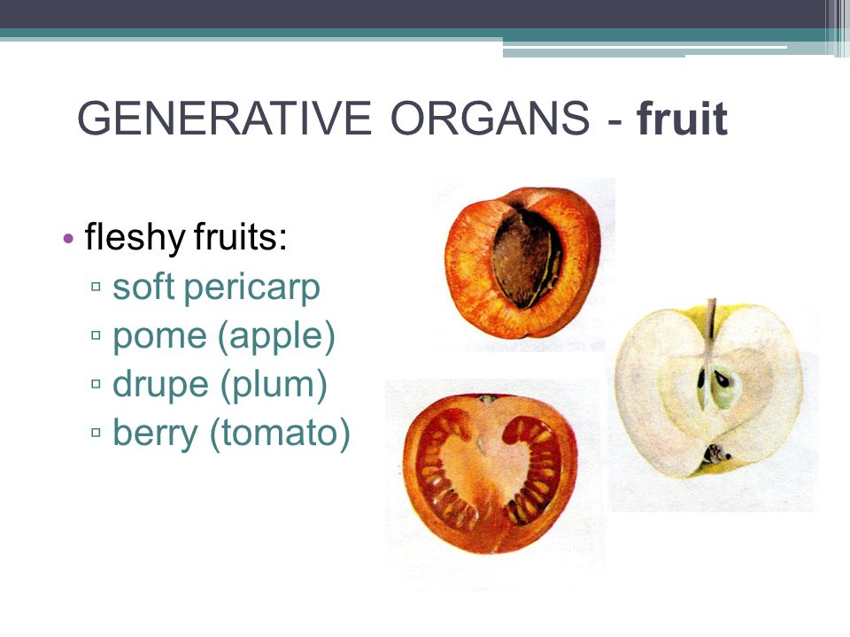 GENERATIVE ORGANS - fruit fleshy fruits: ▫ soft pericarp ▫ pome (apple) ▫ drupe (plum) ▫ berry (tomato)