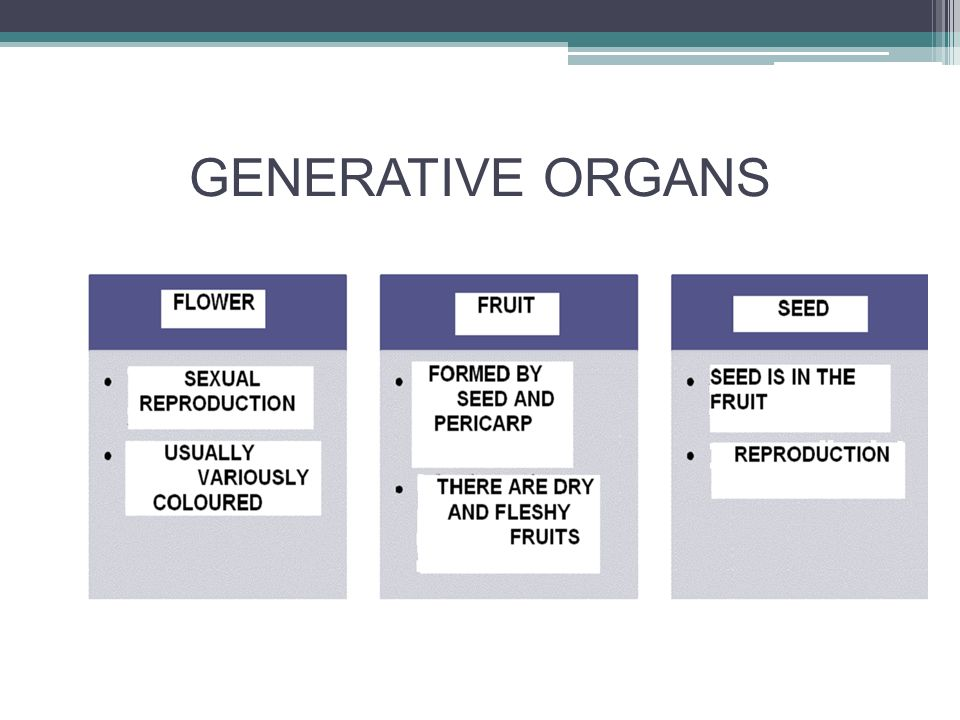 GENERATIVE ORGANS - fruit composed of seed and pericarp pericarp arises by the growth of cells of the ovary kinds of fruits ▫ fleshy ▫ dry