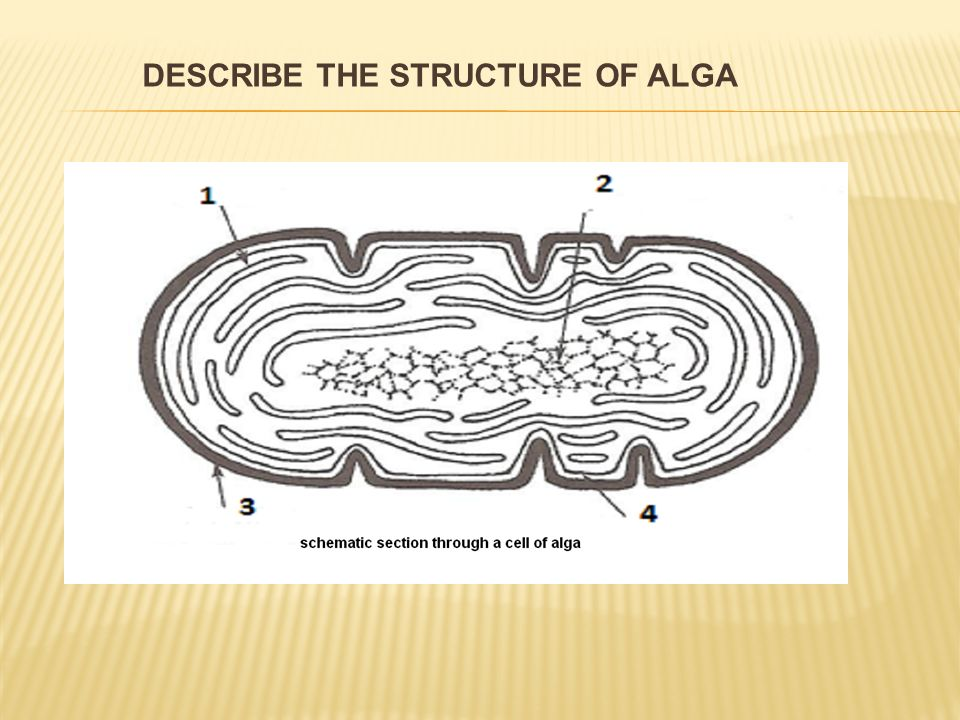 DESCRIBE THE STRUCTURE OF ALGA