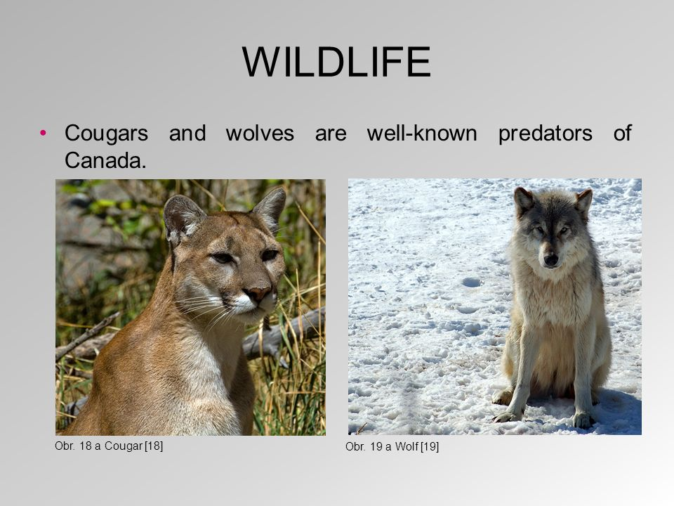 WILDLIFE Cougars and wolves are well-known predators of Canada.