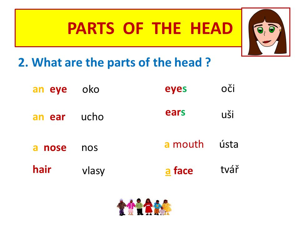 PARTS OF THE HEAD 2. What are the parts of the head .