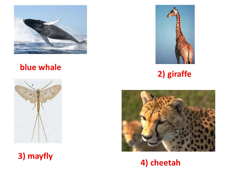 3) mayfly blue whale 2) giraffe 4) cheetah