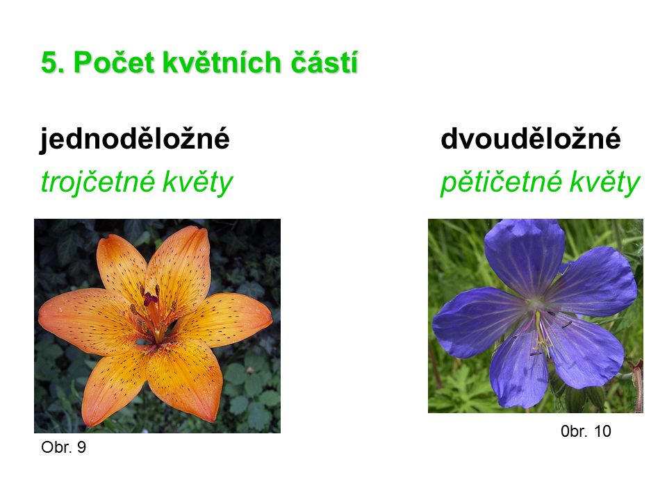 5. Počet květních částí jednoděložnédvouděložné trojčetné květypětičetné květy Obr. 9 0br. 10