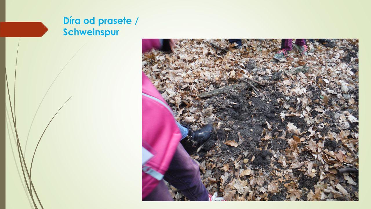 Díra od prasete / Schweinspur