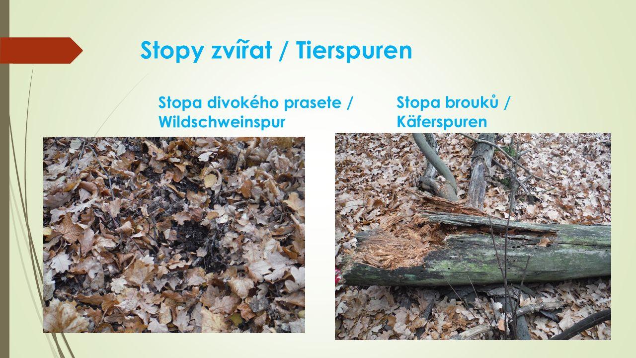 Stopy zvířat / Tierspuren Stopa divokého prasete / Wildschweinspur Stopa brouků / Käferspuren