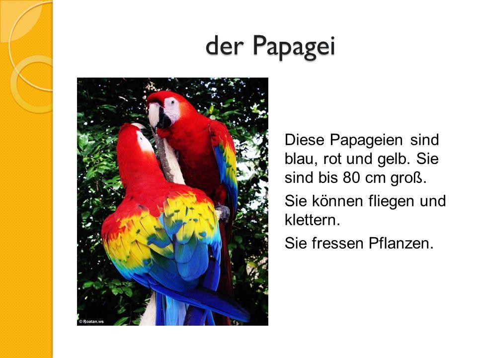 der Papagei Diese Papageien sind blau, rot und gelb.