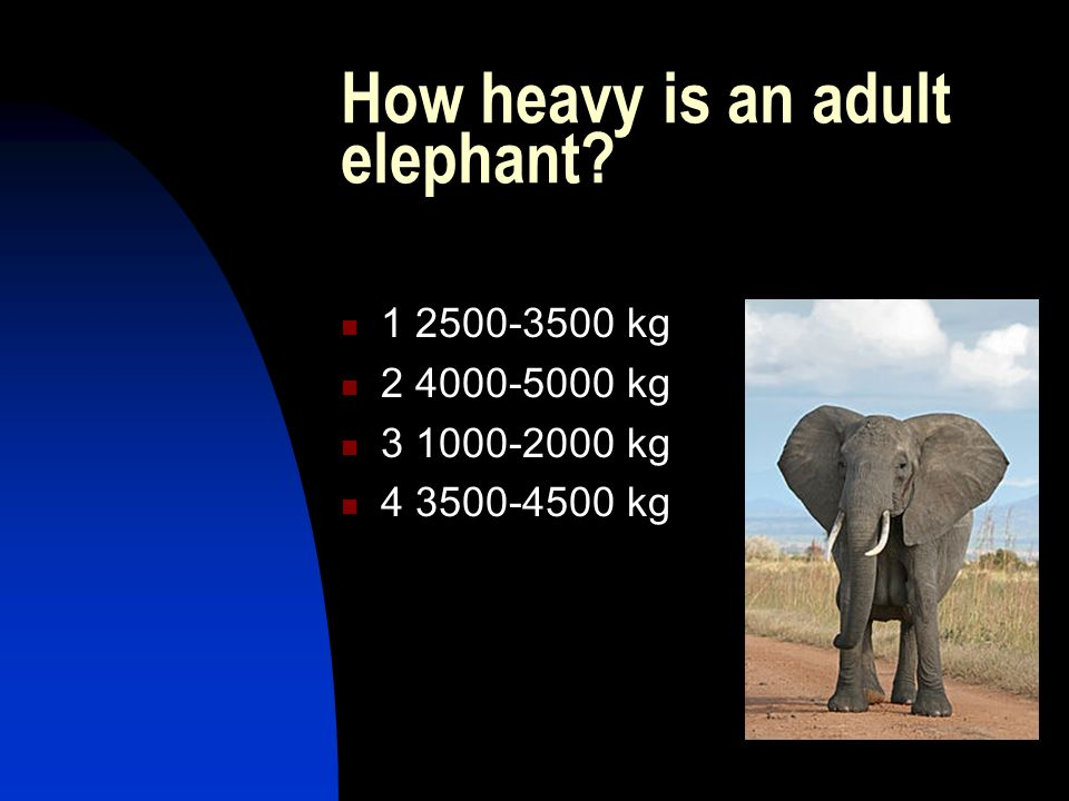 How heavy is an adult elephant? 1 2500-3500 kg 2 4000-5000 kg 3 1000-2000 kg 4 3500-4500 kg