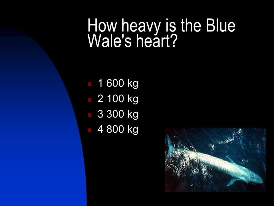 How heavy is the Blue Wale's heart? 1 600 kg 2 100 kg 3 300 kg 4 800 kg