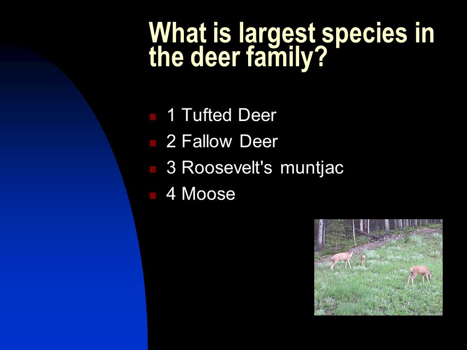 What is largest species in the deer family? 1 Tufted Deer 2 Fallow Deer 3 Roosevelt's muntjac 4 Moose