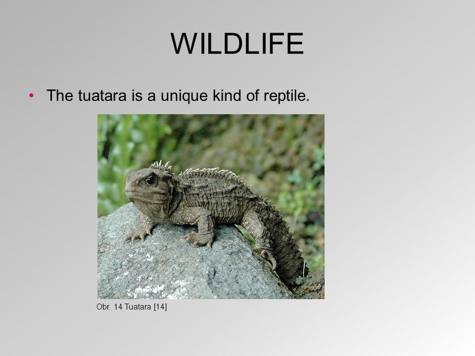 WILDLIFE The tuatara is a unique kind of reptile. Obr. 14 Tuatara [14]
