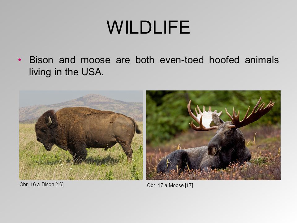 WILDLIFE Bison and moose are both even-toed hoofed animals living in the USA.