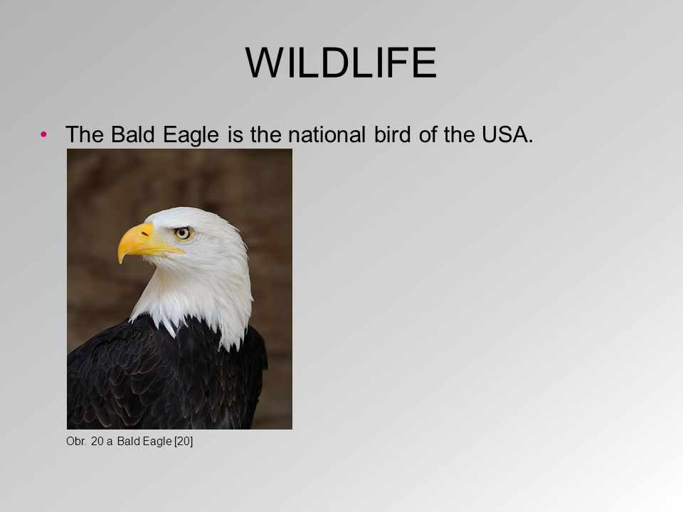 WILDLIFE The Bald Eagle is the national bird of the USA. Obr. 20 a Bald Eagle [20]