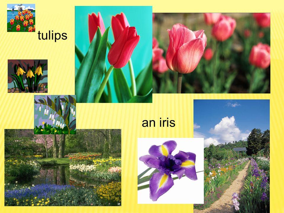 tulips an iris