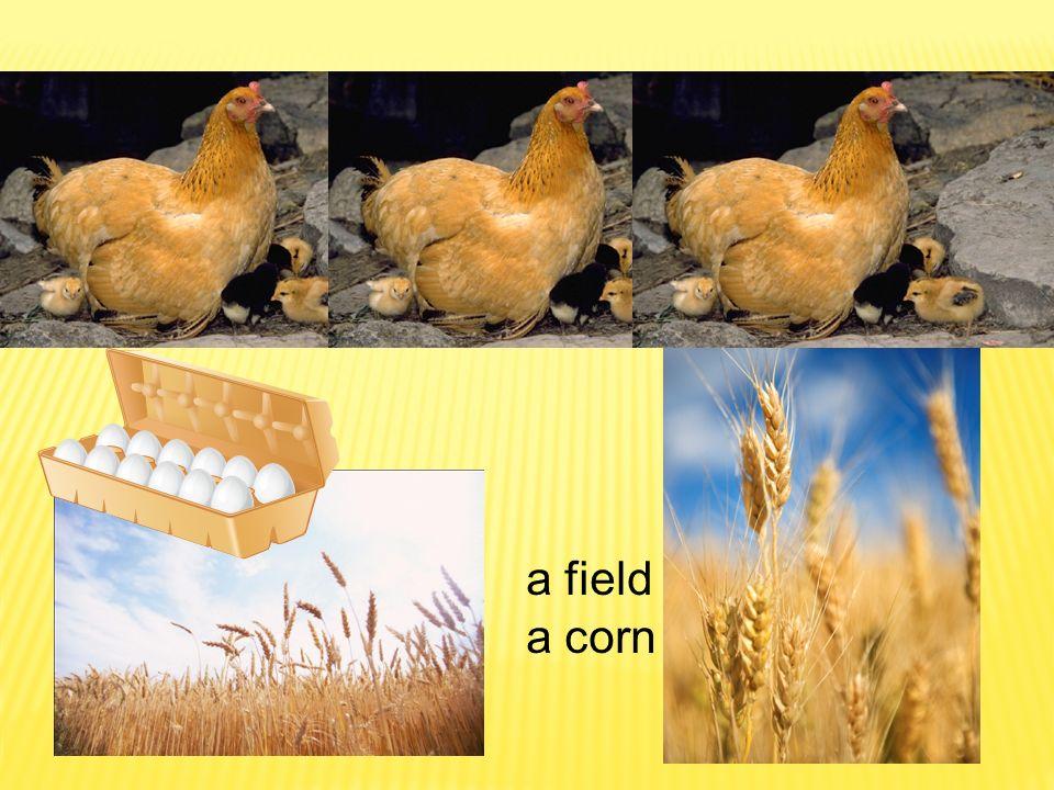 a corn a field