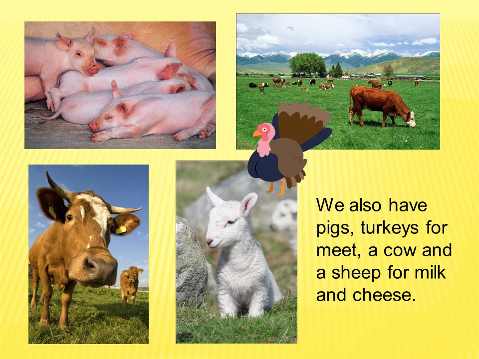 We also have pigs, turkeys for meet, a cow and a sheep for milk and cheese.
